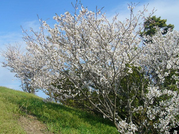 土手の桜25.4