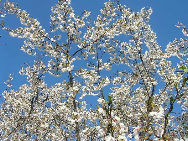 桜25.4