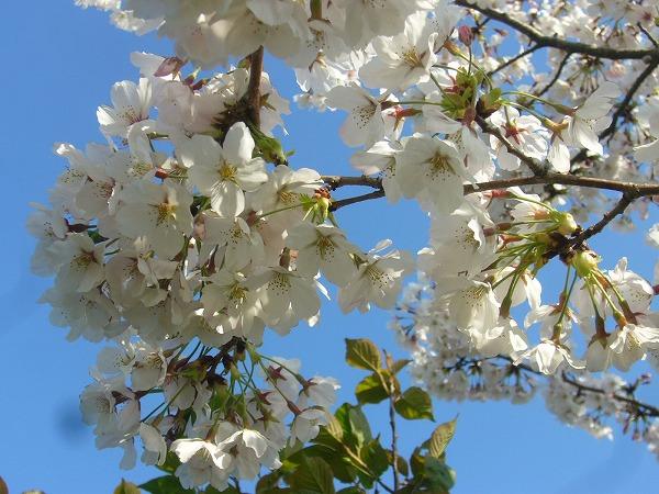 桜ソメイヨシノ25.4