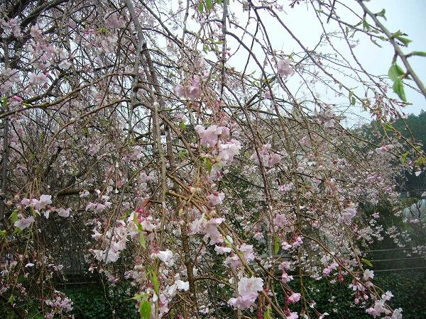 枝垂れ桜 横 25.4.6