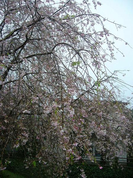 枝垂れ桜神山町縦