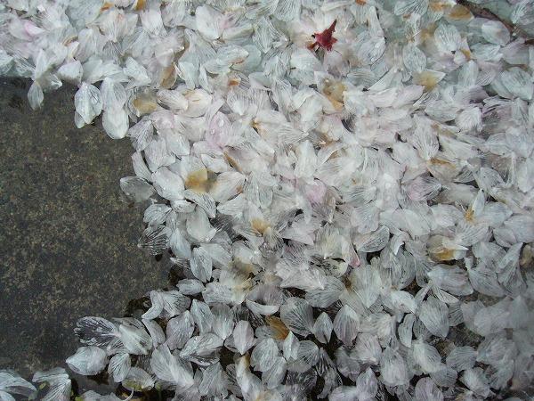 桜筏みたい