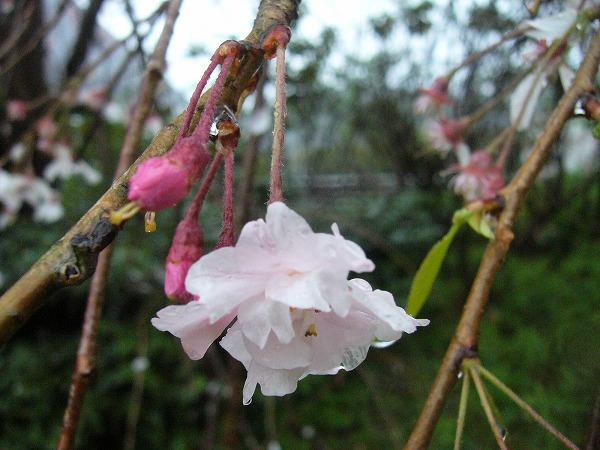 雨にうたれて枝垂れ桜