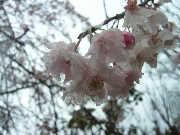 枝垂れ散ってる桜
