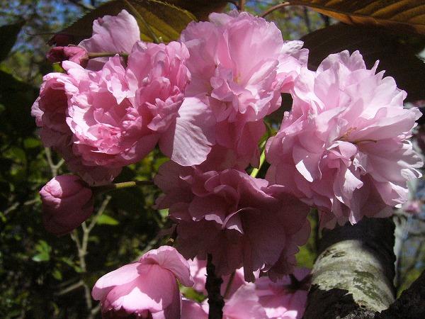ボタン桜の花