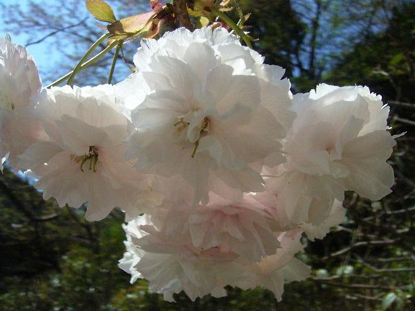 ボタン桜薄桃花