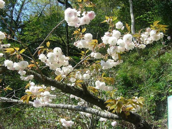 ボタン桜薄桃