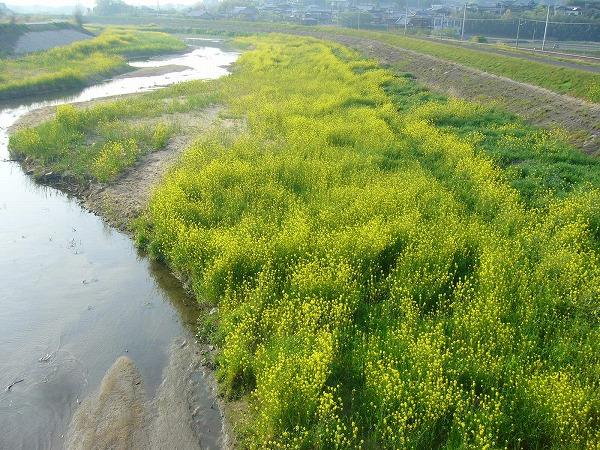 芥子菜の高瀬川上