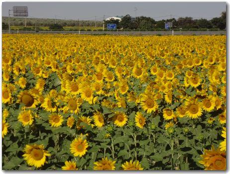 20120616himawari.jpg