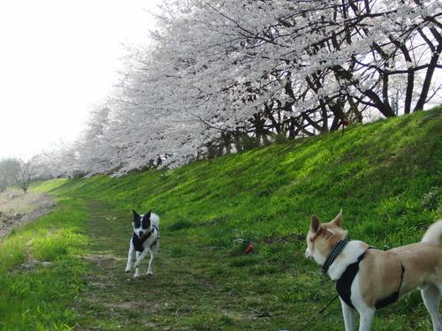 せんちゃんロード桜