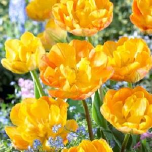 tulip granny