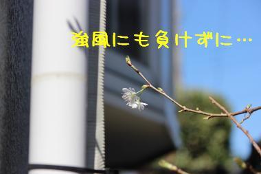 うちの桜。