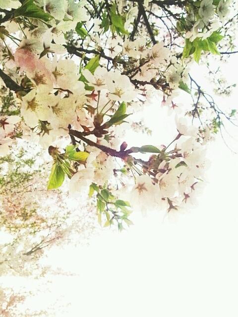 桜2 2012