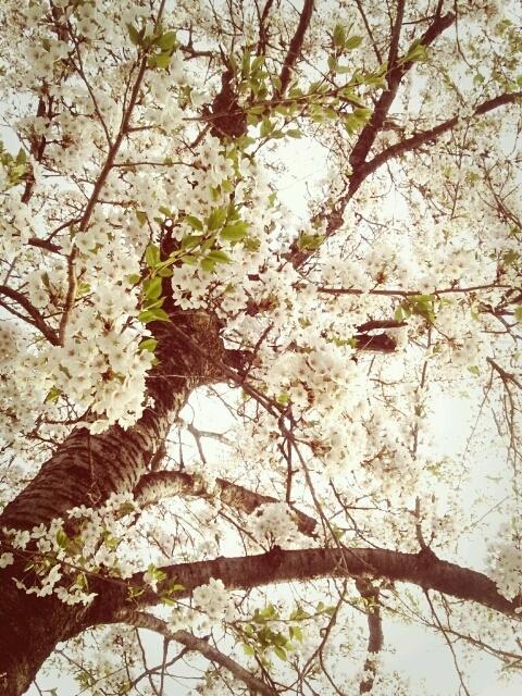桜1 2012