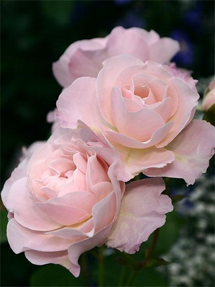 バラ 花ぼんぼり