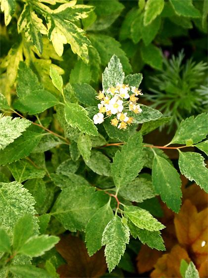 斑入りコデマリ(桜でまり)