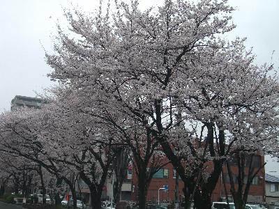 sakura-fuchinobe.png