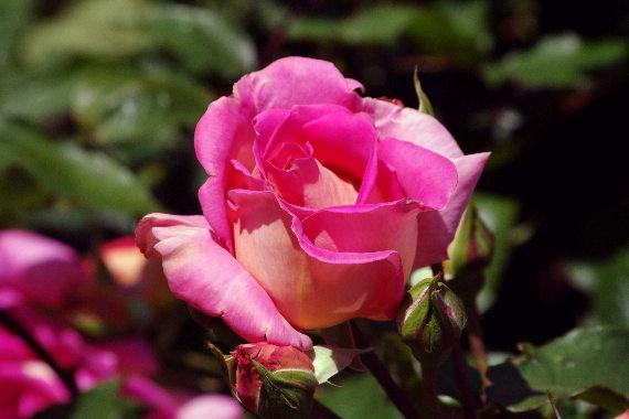 駕与丁公園のバラ~2 2