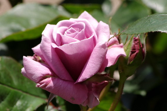 駕与丁公園のバラ~2 3