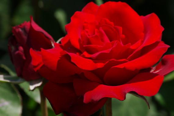 駕与丁公園のバラ~31