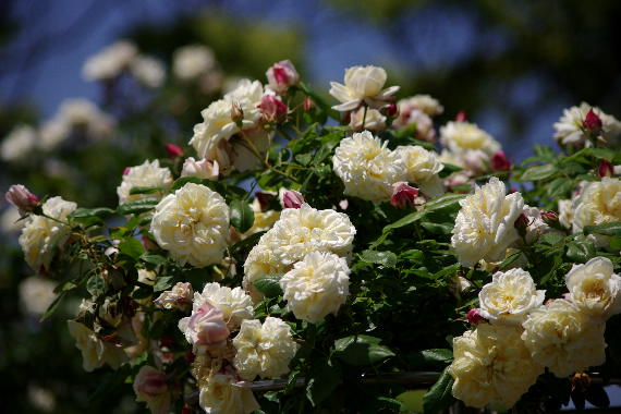 駕与丁公園のバラ~2 9