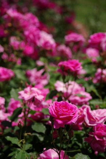 駕与丁公園のバラ~32