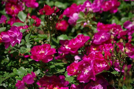 駕与丁公園のバラ~2 1