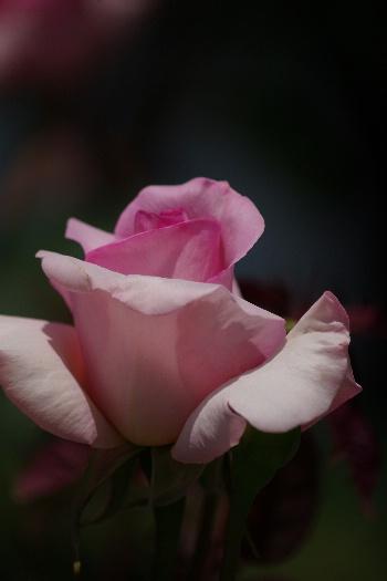駕与丁公園のバラ~1 5