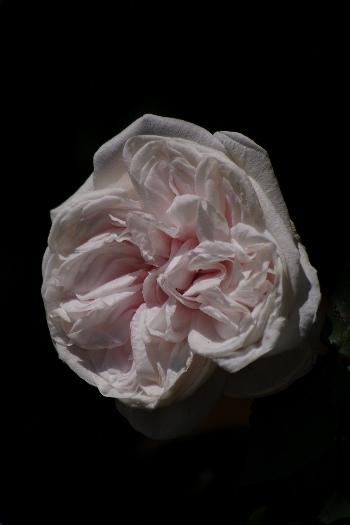 駕与丁公園のバラ~33