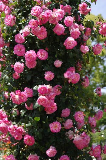 駕与丁公園のバラ~1 7