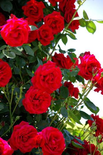 駕与丁公園のバラ~38