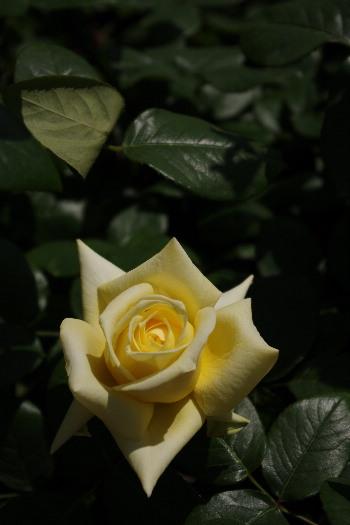 駕与丁公園のバラ~2 4