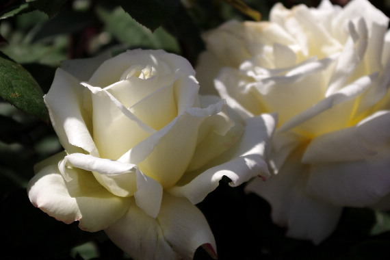 駕与丁公園のバラ~2 5