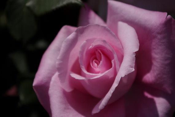 駕与丁公園のバラ~2 6