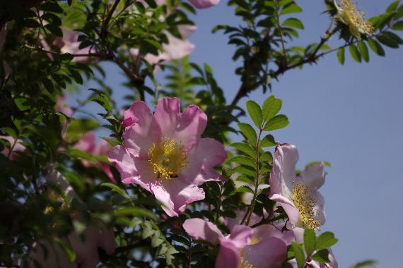 駕与丁公園のバラ~2 8