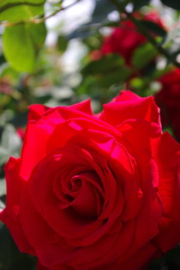 駕与丁公園のバラ~2 7