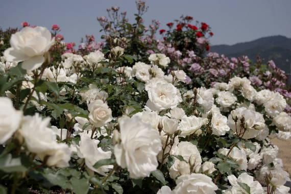 駕与丁公園のバラ~34