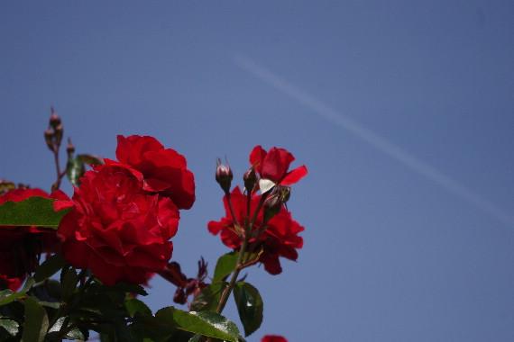 駕与丁公園のバラ~1 9