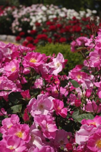 駕与丁公園のバラ~35