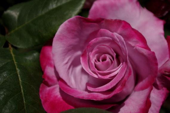 駕与丁公園のバラ~36