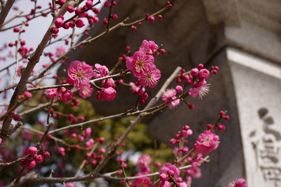 日本一有名な梅の花 7