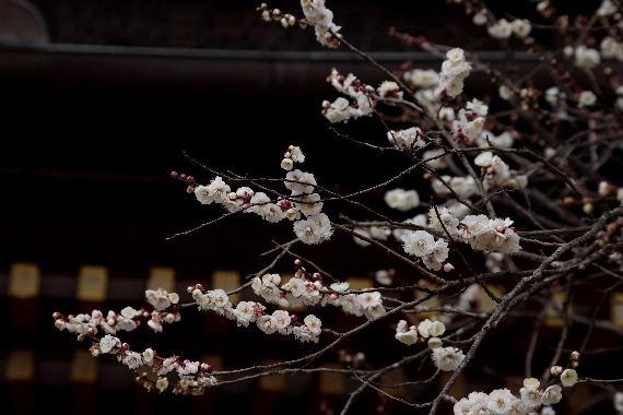 日本一有名な梅の花 2