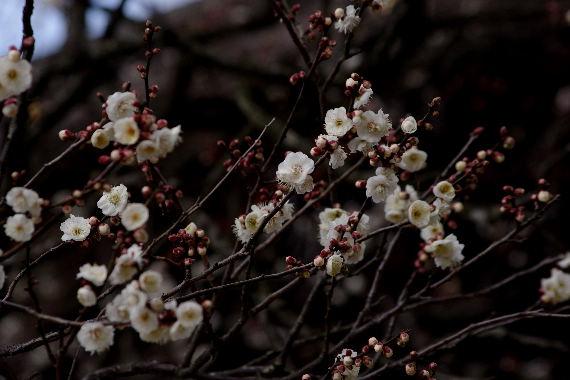 日本一有名な梅の花 4