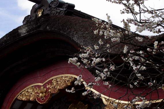 日本一有名な梅の花 1