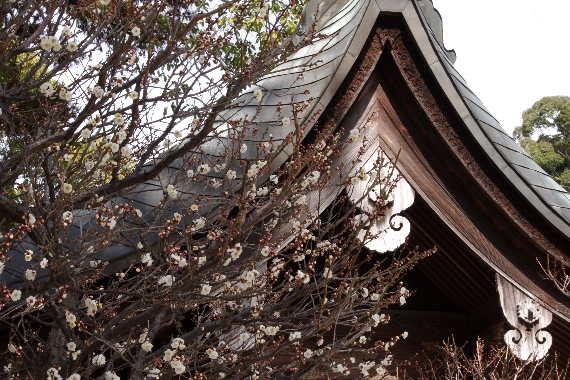 日本一有名な梅の花 5