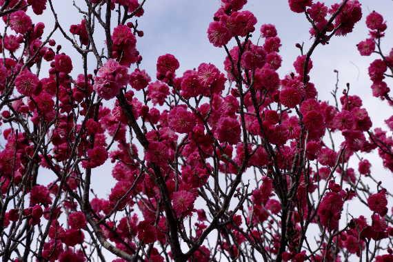 日本一有名な梅の花 6