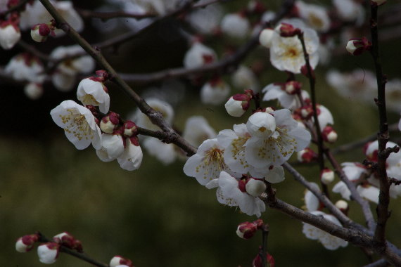 日本一有名な梅の花 8
