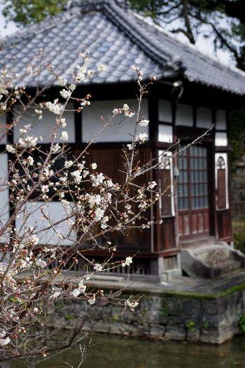 殿とデート・高伝寺の梅 1