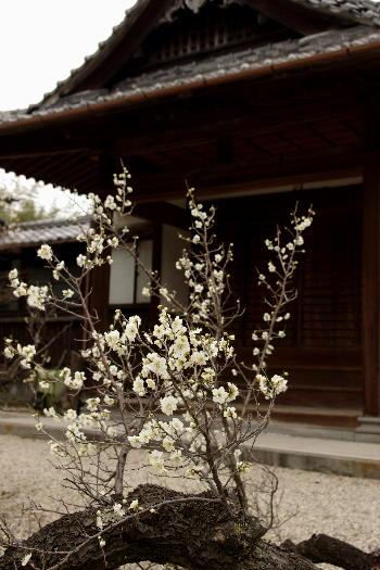 殿とデート・高伝寺の梅 6