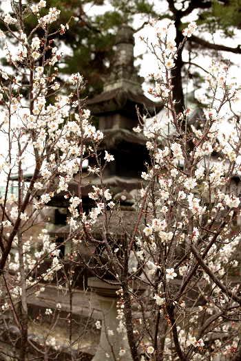 殿と墓マイラー・高伝寺の梅 1